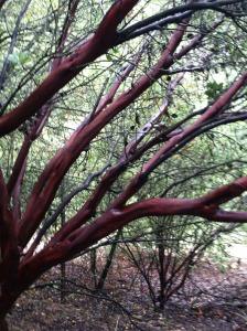 Manzanita along Turtle Creek